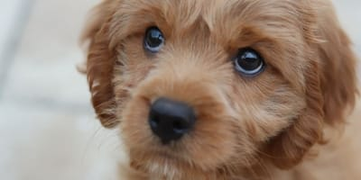 Has your pet been stolen? Police finds 83 stolen dogs in single raid