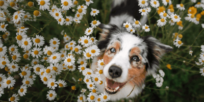 blue merle australian shepherd puppy sitting in field of flowers