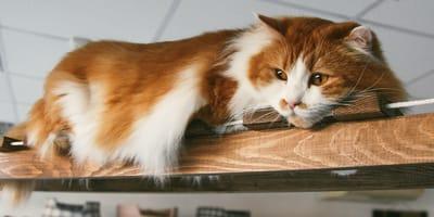 Un gato descansa en una guardería felina