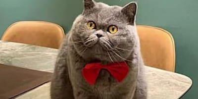 British shorthair cat wearing red bowtie