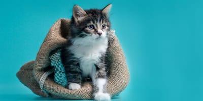 Ein Kätzchen kommt aus einem Sack heraus.
