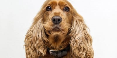 Cocker Spaniel: 10 fun facts about this adorable dog breed