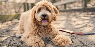 Labradoodle: 12 fun facts about this crossbreed you should know
