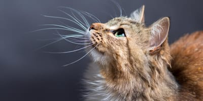 Why do cats have whiskers and what do they use them for?