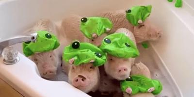 perro pug dandose un baño con sus hermanos cerdos