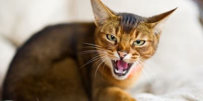 Why do cats hiss? Here's what your cat is telling you