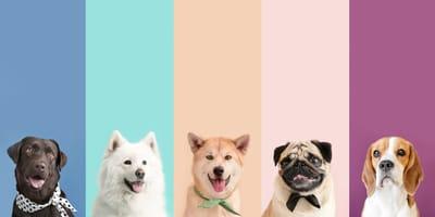 I requisiti per partecipare ai concorsi di bellezza per cani