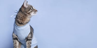 Una gata espera ser esterilizada