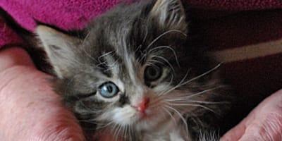 Kot z polidaktylią