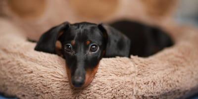 Compra un cucciolo meno caro, ma l'allevatrice l'inganna