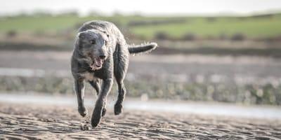 Der Lurcher: Jäger und Familienhund in Einem