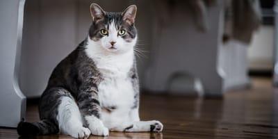 ¿Cómo saber si mi gata está preñada o solo tiene sobrepeso?