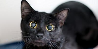 ¿Cómo se adiestra a un gato?
