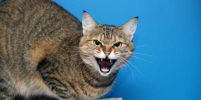 ¿Qué hacer para que mi gato no sea agresivo?