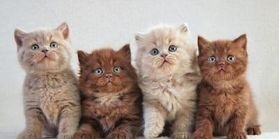 Hai mai sentito parlare di queste 12 razze rare di gatti?