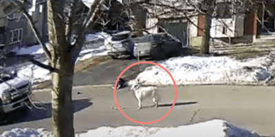white dog stands on road