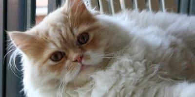 Gatto-dal-pelo-lungo-rosso
