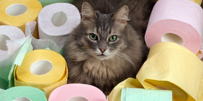 ¿Cómo debo alimentar a mi gato si tiene diarrea?