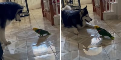 Malamute and parrot come face to face: Their reaction leaves everyone speechless