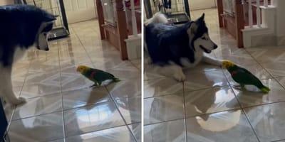 Alaskan Malamute meets yellow-headed parrot