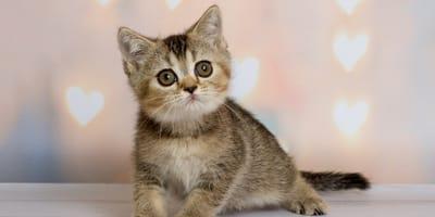 Calostro para reforzar el sistema inmunitario de un gato bebé