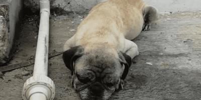 Pug enfermo se acerca a pedir ayuda a los bomberos en Chetumal