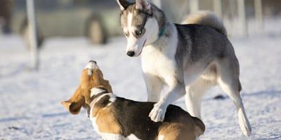 Come riconoscere e gestire un cane dominante?