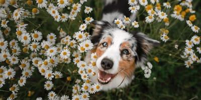 Uwaga opiekunowie psów: oto lista rzeczy, o których warto pamiętać w kwietniu