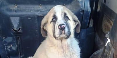 Este cachorro de mastín tiene el miedo grabado en su cara: ¿qué le hicieron para traumatizarlo tanto?