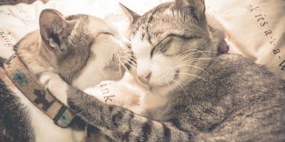 ¿Cómo dan besos los gatos?