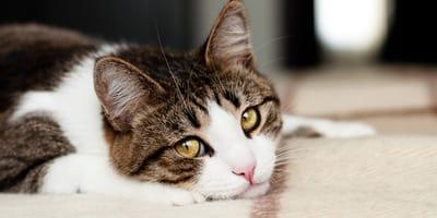 ¿Por qué mi gato no maúlla?