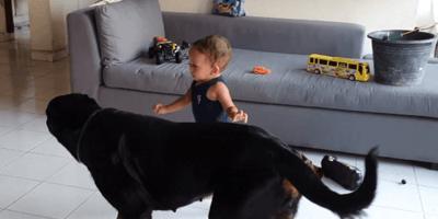 Rottweiler  y niño jugando