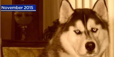 Rodzina odnajduje po dwóch latach ukochanego husky, ale reakcja psa jest komiczna! (VIDEO)