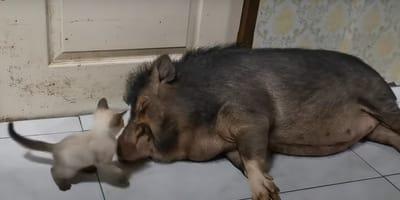 Kätzchen steht vor großem schlafendem Schwein