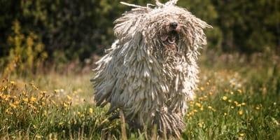 El komondor, la raza de perro que parece trapeador