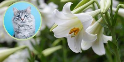 Osterlilien sind für Katzen giftig
