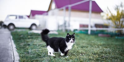 Perché il gatto maschio in calore scappa?