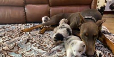 Dóberman se convierte en la niñera de unos cachorros de pastor australiano: el vídeo es puro amor