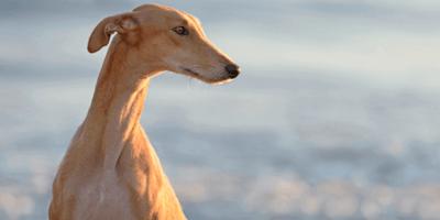 Adottare un Levriero: tutto su questa speciale razza di cane