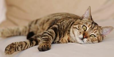 Padaczka u kota - objawy i leczenie
