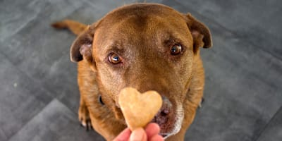 Come scegliere l'alimentazione del cane senza milza?