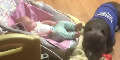 Pitbull descansa al lado del bebé: de repente hace algo enternecedor (Vídeo)