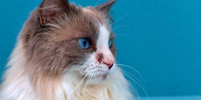 Dermatite del gatto: tipologie, sintomi e cura