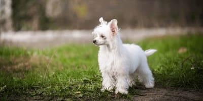 Flauschig weich und gelehrig: Der Powder Puff Hund