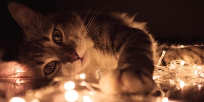 gatto e lucine