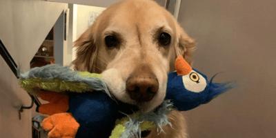 Golden Retriever siente debilidad por los peluches hasta que conoce a un amigo muy especial