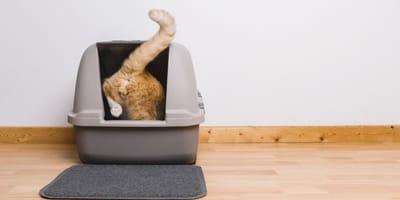 Ghiandole perianali del gatto: che sono e come si infiammano