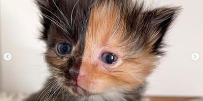Un gato bebé quimera