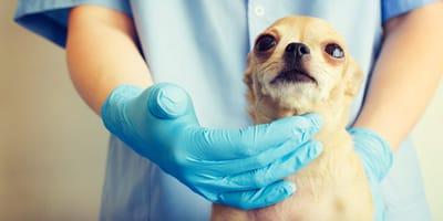Gusano del corazón en perros: síntomas, causa y tratamiento