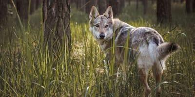 Genial oder Schnapsidee: Soll ich mir einen Wolfshund zulegen?